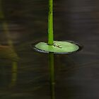 Galvans Waterlily by Dianne English