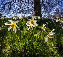 Fish Eye Daffodil Landscape by Pixie Copley LRPS