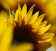 Sunflower 2 by shila353