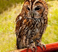 Owl - Species Unknown by Aggpup