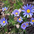 Blue Marguerite  by lickthecowhappy