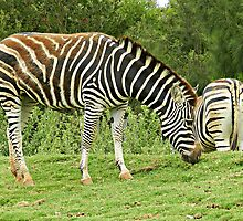 Head & Tail - Zebras at Werribee Open range Zoo by EdsMum