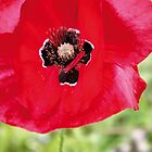 poppy by seagrass-cowes