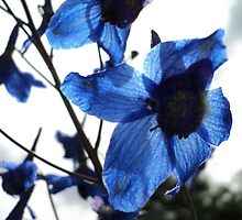 Blue to the Sky ... Foothill larkspur ( hesperium) by PicsbyJody