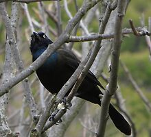 Grackle Both Eyes Visible by Marie Van Schie