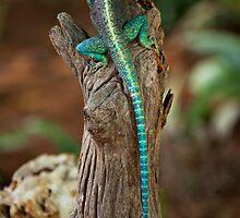 Red-headed Agama Lizard by Samuel Ridge