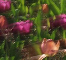 Tulips by Debbie Pinard