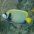 Emperor Angelfish - Pomacanthus imperator by Andrew Trevor-Jones