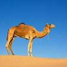 Camel by Chantal Seigneurgens
