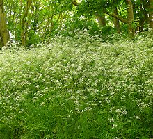 Queen Anne's Lace by Antoinette B