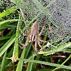 Dewy Spider by Keala