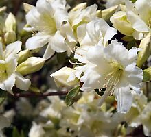 White Azalea by Linda  Makiej