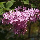 Lilacs to Love by Linda  Makiej Photography