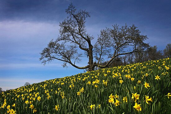 The Old tree and the Daffodils by cclaude