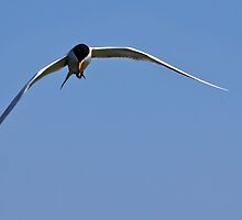 Tern at Bolsa Chica by Celeste Mookherjee