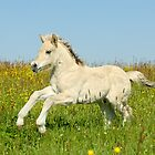Norwegian Fjord horse foal by Manfred Grebler