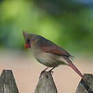 Northern Female Cardinal by Lorelle Gromus