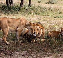 Open affection  ( Lion – Panthera leo )  - Lake Nadutu Southern Serengeti  Tanzania by john  Lenagan