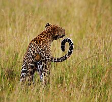 Snapping @ Tsetse flies   - Male  Leopard ( Panthera pardus )  Central  Serengeti  Tanzania by john  Lenagan