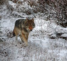 Lone Wolf - Kootenay National Park by JamesA1