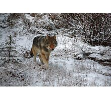 Lone Wolf - Kootenay National Park Photographic Print