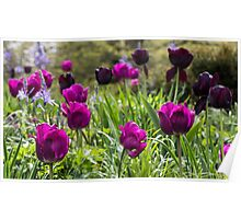 Purple Tulip Field Poster