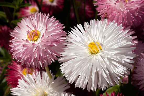 Macro image of two Bellis Flowers by John Gaffen