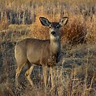 Mule Deer by Reese Ferrier
