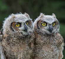 Great Horned Owl Babies by faczen