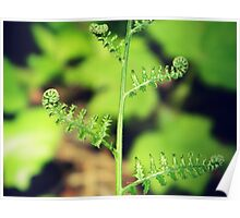 Curly Fern Poster