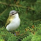 Red-eyed Vireo by Wayne Wood