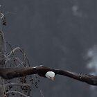 Bald Eagle Soars by Ken McElroy
