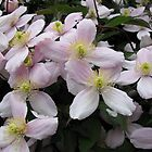 A Touch of Pink - Clematis Blossoms by BlueMoonRose