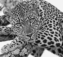 The Tutlwa female in B&W by jozi1
