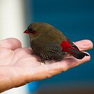 Firetail Finch by Adrian Kent