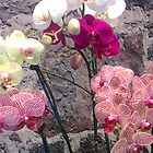 Orchids by Anthony Ogle