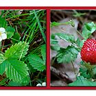 Wild Strawberry Plant - Fragaria virginiana by MotherNature