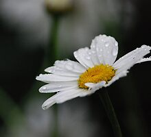 Sun on the Daisies by Bree Waltman