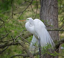 Great Egret In A Cypress Tree by Kathy Baccari