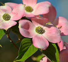 Dogwood Flowers by pencreations