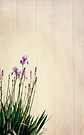 Iris Invasion by KBritt
