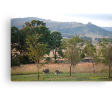 Kangaroos and their Joey -Vacy, NSW Australia Canvas Print