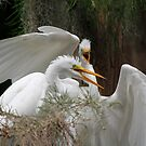 Juvenile  Great Egret by Dennis Cheeseman
