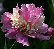 Pink Peony by Monnie Ryan