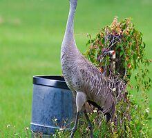 Florida Sandhill Crane Defining Territory by Joe Jennelle