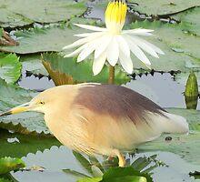 Pond Herron by KumarJoglekar