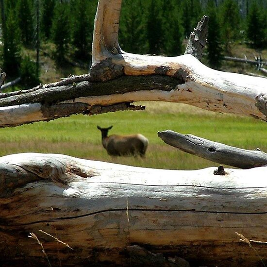 Yellowstone Elk by Loree McComb