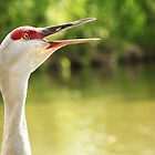 Sandhill Crane Calling by Tracy Friesen