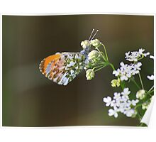 Male Orange Tip Butterfly ( Anthocaris Cardamines ) on Parsley Water Dropwort Poster