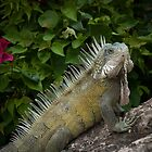Iguana basking by Ralph Goldsmith
